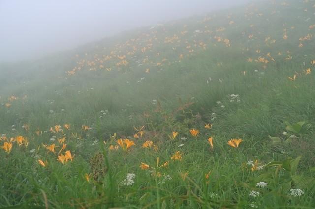 大日岳の山頂直下ニッコウキスゲの大群落