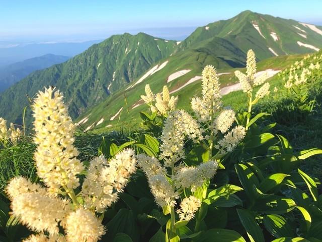 コバイケイソウと大日岳の風景