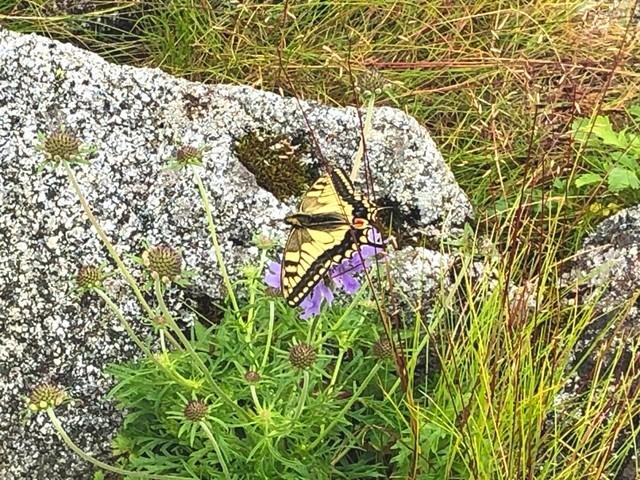 宝珠山の岩峰にいたアゲハ蝶