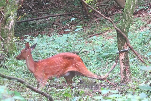 根原の吊橋周辺にいた鹿