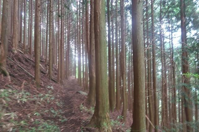 東海自然歩道のルート場の杉並木