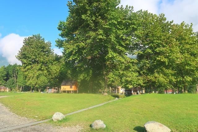 キャンプサイト周辺の大木