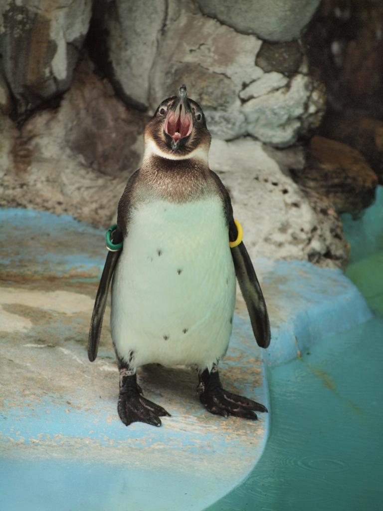 ケープペンギンの若鳥