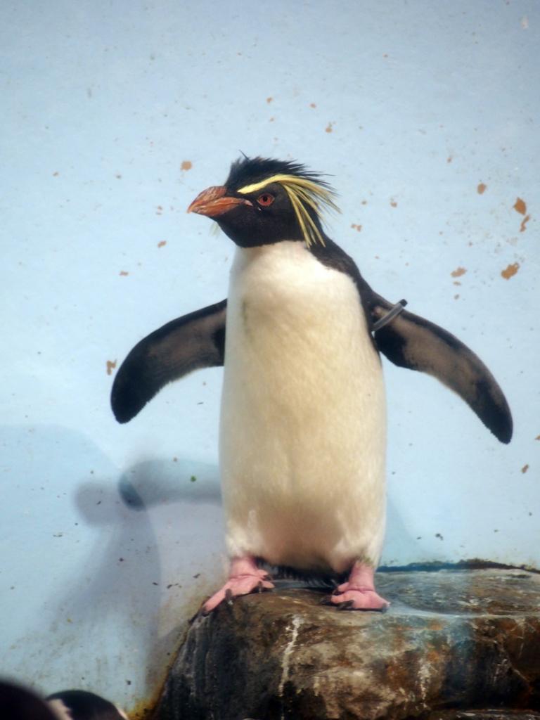 キタイワトビペンギン