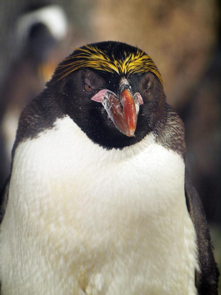 マカロニペンギン