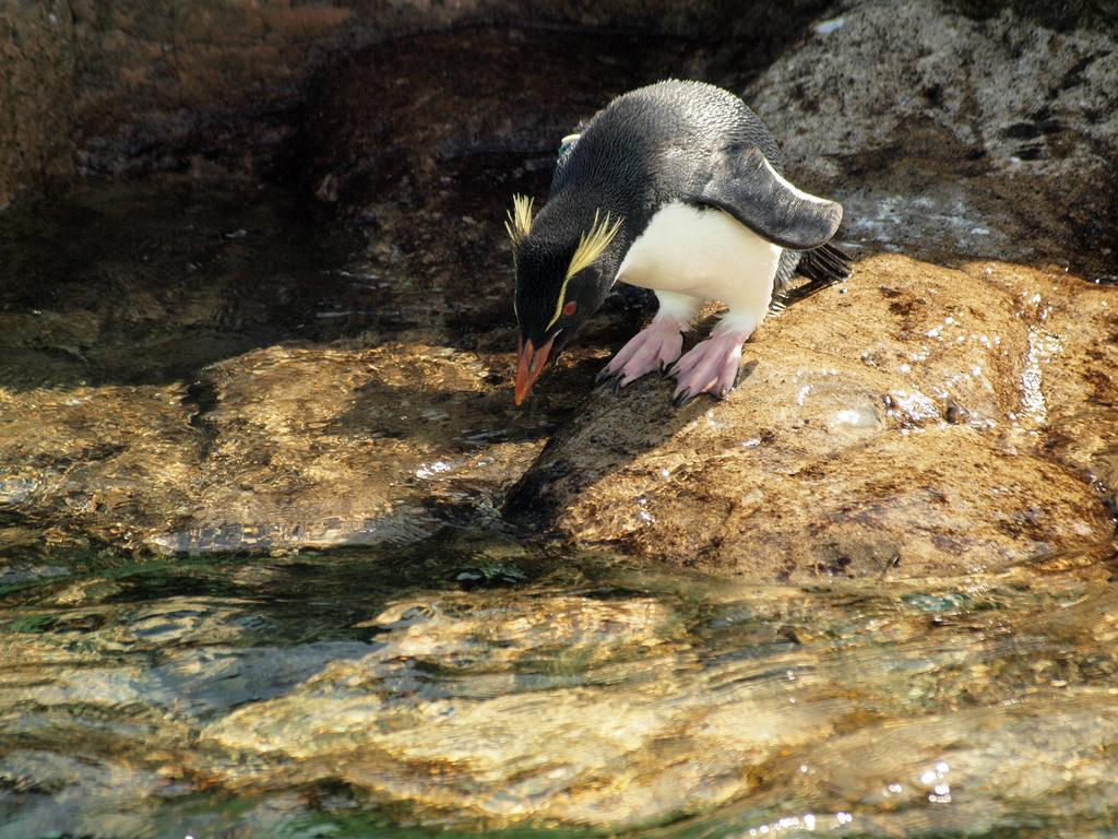 ミナミイワトビペンギン