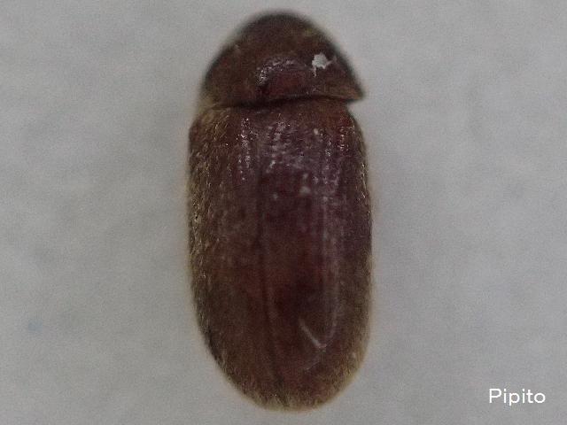 ココアにわく虫|タバコシバンムシ
