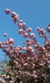 会社構内 八重桜