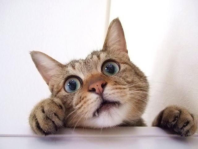 驚き顔の猫の写真