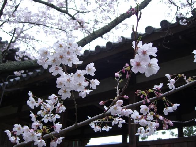お寺の桜の写真
