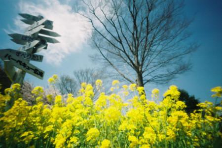 紺碧の空と菜の花色