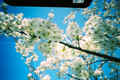 [花][桜]サクラサク