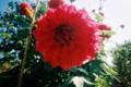 [花]天竺牡丹