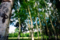 鮮緑の白樺
