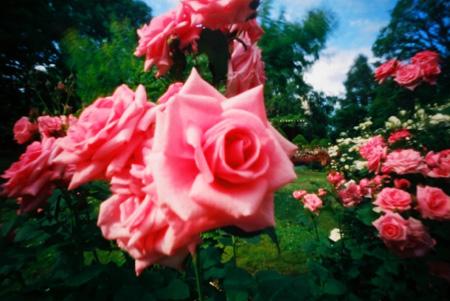 旋回する薔薇