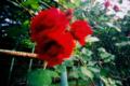 [北海道]赤い薔薇