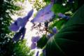 [紫陽花]透かし紫陽花