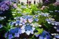[紫陽花]梅雨を彩る