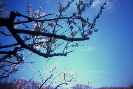 春を告げる白梅