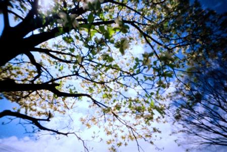 日米親善の木