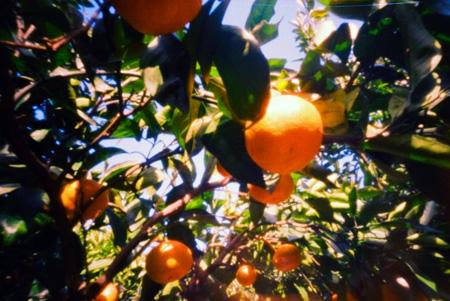 蜜柑の香り