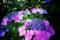 紫陽花紫色