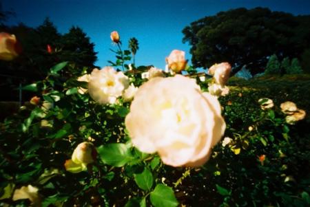 雪白の薔薇