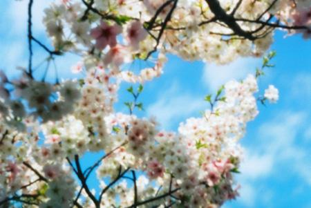 桜と青空と雲