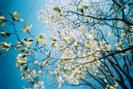 空に広がる白い花
