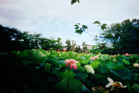 蓮花の泡影