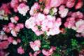湿潤な薔薇