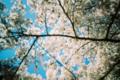 青空になびく桜文様