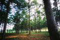 唐松林の木漏れ日