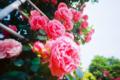 春かおる薔薇