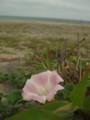 [海][花]ハマヒルガオ