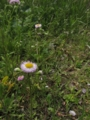 [花]ハルジオン