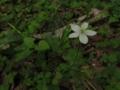 [花]ニリンソウ