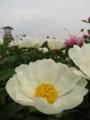 [花]シャクヤク