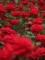東沢公園のバラ