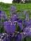 多賀城のアヤメ