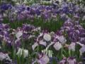 [花]多賀城のアヤメ