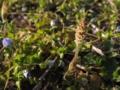 [植物]ツクシ