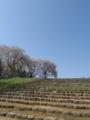 [花]多賀城政庁跡の桜