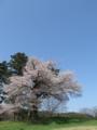 [花]多賀城碑近くの桜