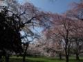 [花]多賀城六月坂の桜