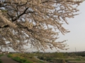 [花]七北田川左岸の桜