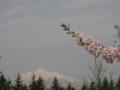 [花][山]桜と岩木山
