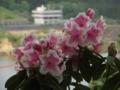 [花]泉ボタニカルガーデンのシャクナゲ