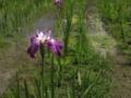 [花]多賀城のあやめ