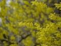 [花]レンギョウ